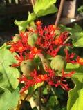 Цветок красного коралла Стоковое Изображение RF