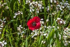 Цветок красного одичалого мака на зеленой траве Стоковые Изображения