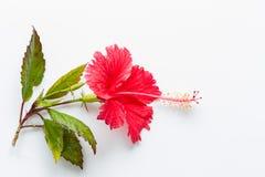 Цветок красного цвета гибискуса Стоковое Изображение RF