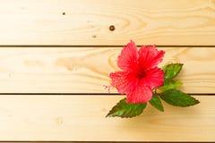 Цветок красного цвета гибискуса Стоковые Изображения