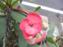 Цветок красного цвета завода milii молочая Стоковое Изображение