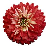 Цветок красного цвета хризантемы На белизне изолированная предпосылка с путем клиппирования Крупный план отсутствие теней Цветок  Стоковая Фотография