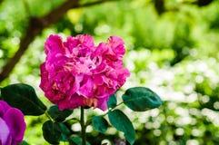 Цветок красного цвета Middlemist Стоковые Фото