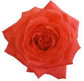 Цветок красной розы, белизна изолировал предпосылку с путем клиппирования closeup Стоковые Фотографии RF