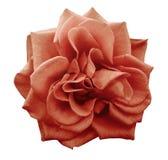 Цветок красной розы, белизна изолировал предпосылку с путем клиппирования closeup Отсутствие теней Стоковая Фотография