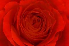 Цветок красной розы, конец вверх Стоковое Изображение