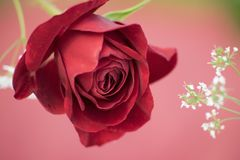 Цветок красной розы на красивой предпосылке Стоковая Фотография