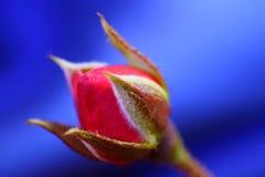 Цветок красной розы Стоковые Изображения