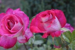 Цветок 2 красных роз Стоковая Фотография