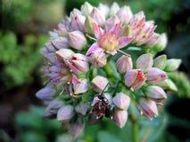 Цветок Красотка природы Стоковые Изображения