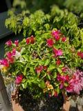 Цветок красоты розовый на парке нации Стоковая Фотография