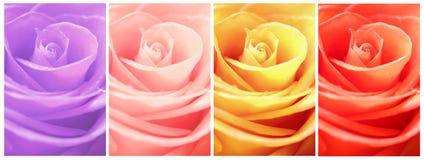 Цветок красоты собрания розовый Стоковые Фото