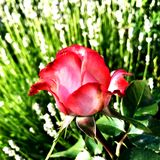 Цветок красочных выставок фото зацветая поднял Стоковое Фото