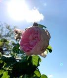 Цветок красочных выставок фото зацветая поднял Стоковые Изображения