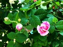 Цветок красочных выставок фото зацветая поднял Стоковое фото RF