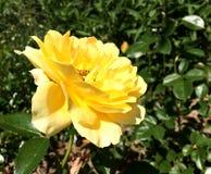 Цветок красочных выставок фото зацветая поднял Стоковое Изображение