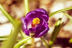 цветок крокуса первый цветет вектор весны снежка иллюстрации Стоковое фото RF