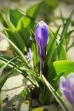 цветок крокуса первый цветет вектор весны снежка иллюстрации Стоковые Фотографии RF