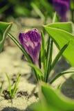 цветок крокуса первый цветет вектор весны снежка иллюстрации Стоковое Изображение RF