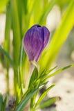 цветок крокуса первый цветет вектор весны снежка иллюстрации Стоковое Фото