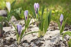 цветок крокуса первый цветет вектор весны снежка иллюстрации Стоковая Фотография