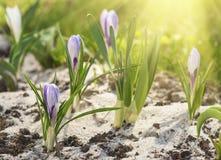 цветок крокуса первый цветет вектор весны снежка иллюстрации Стоковые Изображения