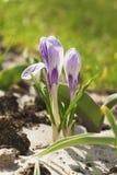 цветок крокуса первый цветет вектор весны снежка иллюстрации Стоковые Изображения RF