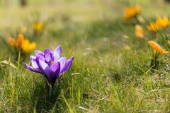 цветок крокуса первый цветет вектор весны снежка иллюстрации Стоковые Фото
