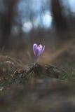 Цветок крокуса шафрана в лесе Стоковая Фотография RF