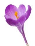 Цветок крокуса. Стоковые Изображения