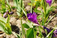 Цветок крокуса Стоковое Фото