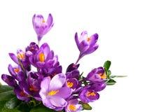 цветок крокуса Стоковая Фотография RF