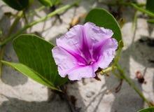 Цветок кроны в пляже Стоковая Фотография RF