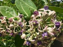 Цветок кроны - гигантский индийский цветок milkweed стоковое изображение rf