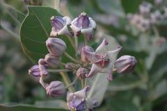 Цветок кроны Стоковая Фотография RF