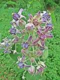 Цветок кроны Стоковая Фотография