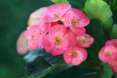 цветок Крон--терниев Стоковые Изображения