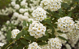 цветок крупного плана немногая белое Стоковое Изображение