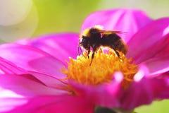 цветок крупного плана пчелы Стоковое Изображение