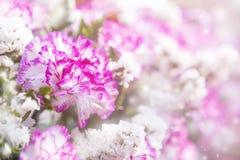 Цветок крупного плана розовый и белый гвоздики над запачканной предпосылкой цветка стоковое фото
