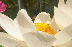 Цветок крупного плана nucifera nelumbo лотоса стоковое изображение rf