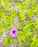 Цветок крупного плана свежий славы утра пляжа (pes-caprae ипомея) Стоковые Фото