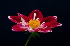 Цветок крупного плана яркий покрашенный Стоковое Изображение