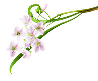 Цветок кукушки Стоковая Фотография RF