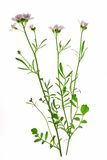 Цветок кукушки (pratensis Cardamine) Стоковые Изображения