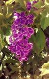 Цветок кустарника тропический фиолетовый Стоковое Изображение