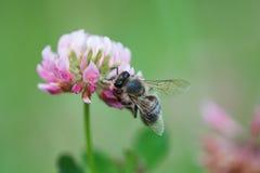 Цветок клевера пчелы меда опыляя Лепесток и насекомое взгляда макроса фиолетовый ища нектар поле глубины отмелое Стоковые Изображения RF
