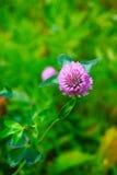Цветок клевера Стоковая Фотография RF