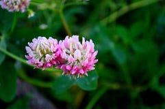 Цветок клевера Стоковое фото RF