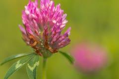 Цветок клевера Стоковое Изображение